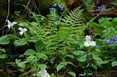 IMGP0094 (fidmar) Tags: park white mississippi trillium virginia illinois spring state trail wildflowers prairie beauties bluebell palisades sentinel