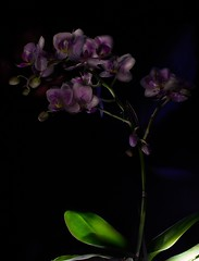Orchid Light Painting WIP (thesnorktroll) Tags: longexposure pink blue light lightpainting orchid flower leaves canon painting long exposure masking
