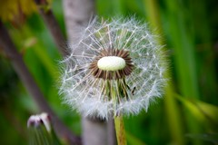 IMG_7927 (kween_beek) Tags: nature wisconsin outdoors weed dandelion wish wildflower wi