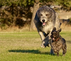 Ben and Sam Run (philNm) Tags: schnauzer run wolfhound