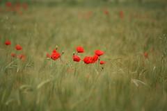 Tiempo de amapolas. (melamasso) Tags: verde rojo trigo amapola