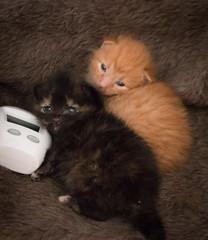 IMG_9488 (jaglazier) Tags: usa cats playing cute animals babies unitedstates tiger may indiana kittens siblings bloomington mammals blackie 2016 52416 copyright2016jamesaglazierandjamesaferguson