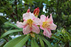 IMG_3043.JPG (robert.messinger) Tags: flowers rhodies