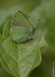 Green Hairstreak, Callophrys rubi