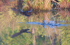 Water flight (Kokanee-YYZ) Tags: wood lake duck nikon flight charleston marsh 70200mm d610