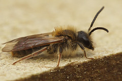Andrena haemorrhoa, male (henk.wallays) Tags: