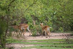 Impala Herd (cj_hunter) Tags: africa game animal animals night dark african wildlife safari ghana impala herd nightsafari