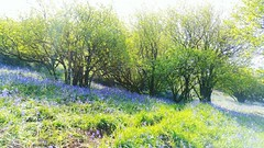 A Bluebell Wood @ Llaithddu ... Bluebells Hazel Wood Woods Forest Nature Hills Wales Spring Springtime Flowers Hyacinth Primavera      Wildflowers Britain (Almena14) Tags: wood flowers primavera nature bluebells wales forest spring woods britain hills hazel wildflowers hyacinth springtime bluebellwood