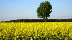 Rapeseed field (radimersky) Tags: plant tree field yellow rural landscape countryside europa europe day sony poland polska cybershot rape pole dzie brassica rapeseed napus oilseed silesia lsk rzepak drzewo ty opolskie te wiejski kraobraz dschx90