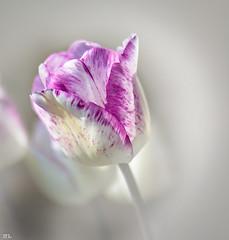 Flower Power-Part III (roland_lehnhardt) Tags: light shadow flower macro backlight licht dof tulips bokeh blumen schatten tulipa tulpen schrfentiefe tiefenschrfe unschrfe lilioideae beyondbokeh