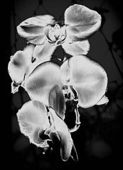 Orchid (pons5607_3) Tags: orchid asia flower construct art photography light photo creative sony ilca77m2 slta77v