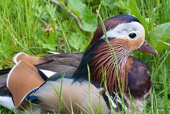 Mandarin Duck close-up (quinet) Tags: uk alnwick northumberland mandarinduck aixgalericulata