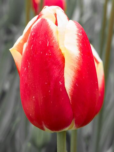 Tulipa - Keukenhof