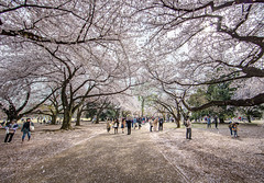 Tokyo (magiclaura) Tags: japan cherry tokyo asia blossom sakura hanami 5dsr