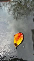 some color to brighten a gloomy day (iamlewolf) Tags: red orange ny newyork flower reflection water rain yellow puddle buffalo colorful pretty solitude vibrant petal simplicity buffalony simple wny buffalonewyork