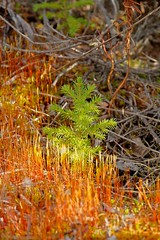 Warm Sunlight in the Evening (MIKOFOX  Catching Up!) Tags: canada moss spring may yukon spruce regrowth xt1 foxlakeburn fujifilmxt1 xf18135mmf3556rlmoiswr screwtheautotagbot mikofox