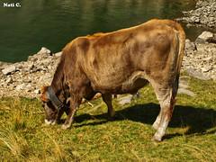 Feliz en la naturaleza (Nati C.) Tags: animal catalunya vaca comiendo aigestortes lleida pirineo parquenacional