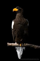Steller's Sea Eagle - Portrait on Black (Old-Man-George) Tags: bird animal beak feathers hampshire raptor captive lowkey onblack seaeagle stellersseaeagle hawkconservancy d880764 wwwgeorgewheelhousecom georgewheelhouse