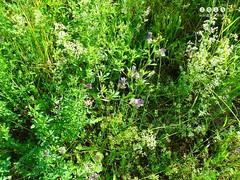 Blume, Pflanze, Wildblume, Wildkraut, Staude, Strauch .... wer kennt die Bezeichnung? (warata) Tags: flower fleur germany deutschland pflanze blume blte blueflowers 2016 wildblume wildpflanze