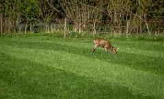 Deer At Great Hidden Farm (AppleTV.1488) Tags: england walking mammal europe unitedkingdom walk deer gb april berkshire roedeer 2016 westberkshire 18250mmf3563 upperdenford nikond7100 appletv1488 adobephotoshoplightroom571macintosh 17042016 17apr2016