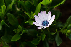 White Osteospermum (WillemijnB) Tags: white flower green nature fleur leaves canon 50mm groen outdoor balcony balkon natuur vert daisy blaadjes wit blanc buiten feuilles bloem osteospermum margriet grun spaansemargriet lonelyflower pinktouch fleursolitaire