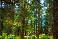 DSC_1974 (Amishrit) Tags: mountain snow rock forest garden landscape temple shimla flora nikon manali kulu chandigarh kufri rohtang hadimba d7100 vasista