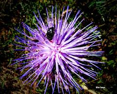 Flor da alcachofra (cynara cardunculus) (verridrio) Tags: flor alcachofra sony fleur flower natura flora nature naturaleza macro inseto animal fauna portugal blumen