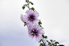 DSC_8162 (jbillings13) Tags: pink flowers flower hibiscus tropical