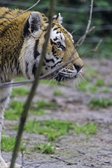 Profile of a tiger behind the branch (Tambako the Jaguar) Tags: protrait profile walking branch soil grass male tiger amur siberian big wild cat mulhouse zoo france alsace nikon d4