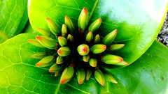 Green Growth Buds Leaves Flower Buds Flower Bud Flower Growing Macro Beauty In Nature Outside Outdoor (Mukund Gohil) Tags: flower macro green leaves outside outdoor growth buds growing flowerbud flowerbuds beautyinnature