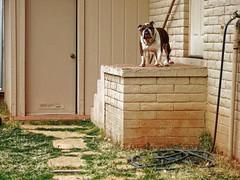 Big Bulldog, Short Legs (KnightedAirs) Tags: dog english digital canon photography photo bulldog powershot short s100