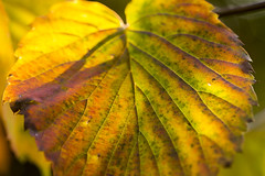 Trompenburg Arboretum & Gardens (Hans van der Boom) Tags: autumn red green fall netherlands yellow garden leaf rotterdam multicoloured arboretum nl trompenburg zuidholland brownmacro
