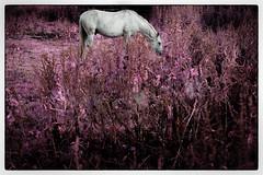 Dream Horse (Garry Corbett) Tags: horse dream infrared bluejazzbuddha sandwellvalleyuk grazinginthegrass cgarrycorbett2016