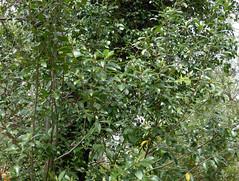 Pittosporum buchananii Hook.f. 1867 (PITTOSPORACEAE) (helicongus) Tags: spain pittosporum pittosporaceae jardnbotnicodeiturraran pittosporumbuchananii
