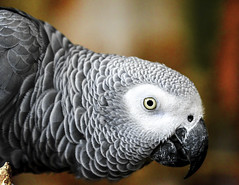African Grey Parrot (C. P. Ewing) Tags: bird birds parrot parrots african africa avian outdoor nature outdoors natural grey white animal animals eye