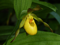 02 Yellow lady's-slipper (annkelliott) Tags: alberta canada wofcalgary bowvalleyprovincialpark manyspringstrail kananaskis kcountry nature plant flora flower wildflower yellow orchid yellowladysslipper cypripediumparviflorum macro closeup leaves foliage outdoor summer 28june2016 fz200 fz2003 anneelliott2016 allrightsreserved