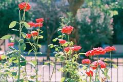 optimun.roses.1 (the.crystalimage) Tags: agfa agfafilm smcpentaxa50mmf17 agfafilmagfaoptimaagfaoptimaiiexpiredagfaoptima1002pentaxmz5smcpentaxa50mmf17