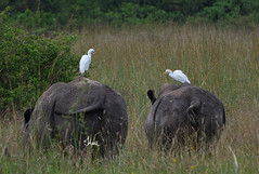 Have a safe and fun weekend with your friends and family - 8619b (Teagden (Jen Hall)) Tags: africa park wild white nature birds photography nikon kenya african wildlife nairobi safari national rhinos endangered egret rhinoceros egrets naturephotography kenyasafari africansafari nnp africanwildlife africasafari whiterhinos wildlifephotography nairobinationalpark kenyaafrica africanbird savetherhinos kenyawildlife jenniferhall jenhall africanphotography jenhallphotography jenhallwildlifephotography dkgrandsafaris