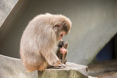 2016-06-17-16h50m18.BL7R0221 (A.J. Haverkamp) Tags: canonef100400mmf4556lisiiusmlens amsterdam zoo dierentuin httpwwwartisnl artis thenetherlands japansemakaak japanesemacaque dob09062016 pobamsterdamthenetherlands