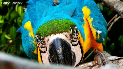 Escondidas #Hidden #bird #parrot #nature #beautiful #love