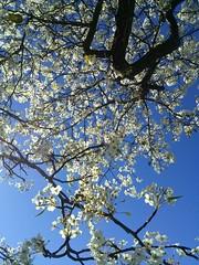 Plums (toranosuke) Tags: plumblossoms