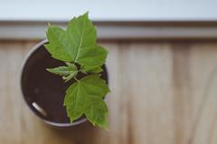 My Surprise 164/366 (Watermarq Design) Tags: tree maple seedling windowlight sweetsurprise project366