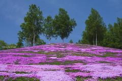 Three Trees  (Alpha 2008) Tags: pink blue sky tree nature japan landscape moss hokkaido sony   alpha          mossphlox