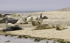 seal colony (Kerryjal) Tags: point wildlife north norfolk sealife seal common colony blakeney