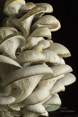 Oyster Mushrooms on Kitchen Table (Philip Magallanes) Tags: mushrooms fungi oysters