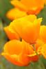 Poppy Fantasies 1 (gripspix (OFF)) Tags: 20160605 nature natur plant pflanze blüte blossom poppy mohn goldmohn californianpoppy escholziacalifornica