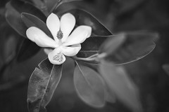 Untitled (nckgntl) Tags: blackandwhite flower leaves petals nikon stlouis forestpark nikon50mmf18g nikond610