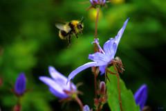 IMG_6311 (gshaun12) Tags: blue flower macro green animals yellow bug bokeh bee fantasticnature macrodreams