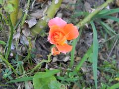 Lacking petals (Elenagrima) Tags: flower colour nature rose garden petals rosa fiore petali