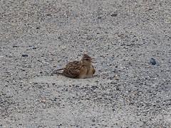 Skylark () (Greg Peterson in Japan) Tags: birds japan wildlife rivers shiga jpn moriyama shigaprefecture otherbirds yasugawa rittocity